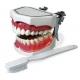 Modello Dimostrativo Igiene Orale 1pz